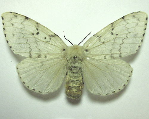 Lymantria dispar, (Linnaeus, 1758) НЕПАРНЫЙ ШЕЛКОПРЯД