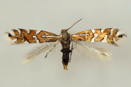 Phyllonorycter anderidae (W. Fletcher, 1885)