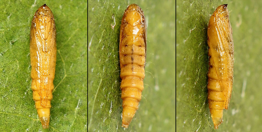 Phyllonorycter strigulatella (Lienig & Zeller, 1846)