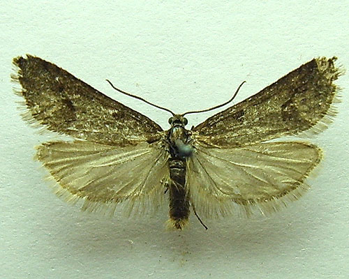 Exapate congelatella (Clerck, 1759)