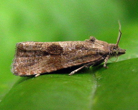Endothenia ericetana (Humphreys & Westwood 1845)