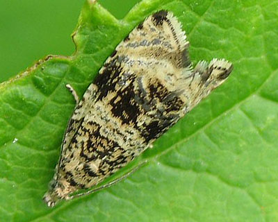 Celypha lacunana (Denis & Schiffermuller, 1775)