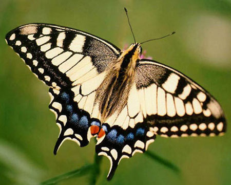 Papilio machaon Linnaeus, 1758 Хвостоносец махаон